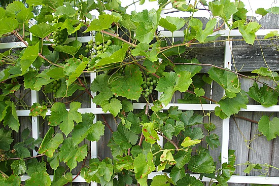 a trellis for additional garden security